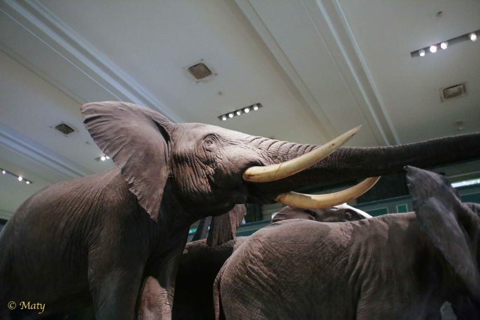 Another view of African Elephants